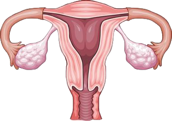 Internal Female Organs